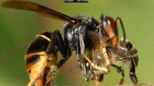 Lees meer over het artikel Bart's eigen relaas over de Aziatische Hoornaar