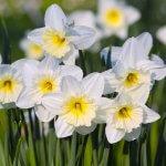 Gif in bloembollen: een valstrik voor bijen en andere insecten.