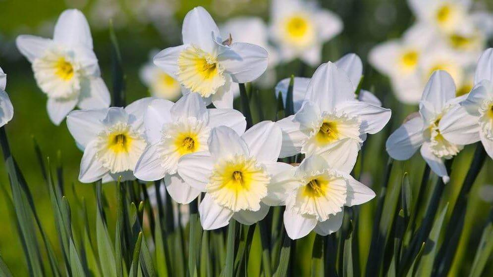 Je bekijkt nu Gif in bloembollen: een valstrik voor bijen en andere insecten.
